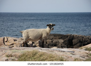 Sheep grazing on the seashore. Sheep breed between Gotland wool sheep and the Dutch texel. Island Bornholm, Denmark.