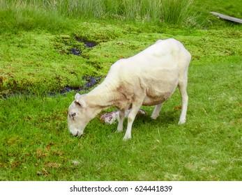Sheep grazing in Scottish highlands. Sheep in Scotland nature, United Kingdom, Europe