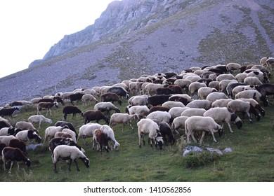 Sheep are grazing in Vardousia mountain, Greece