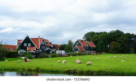 Sheep and green grass field with Dutch house