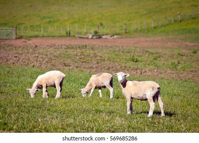 Sheep in a Green Grass Paddock in New Zealand