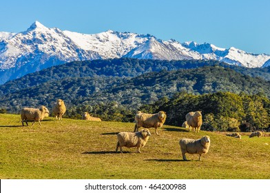 Sheep in a green meadow and snowy mountains in the background in the Southern Scenic Route, New Zealand