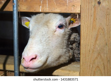 sheep head farm animal livestock agriculture farming