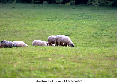 Sheep heard feeding in green meadow valley