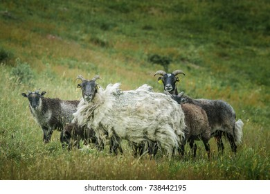 Sheep heard in nature