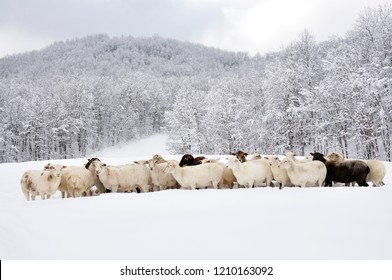 Sheep in heavy snow, family farm, Webster County, West Virginia, USA, sheep breeds are Katahdin and  Barbados Blackbelly Breed Mix