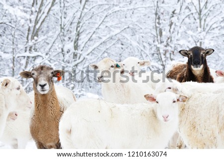 Sheep Heavy Snow Family Farm Webster Stock Image Download Now