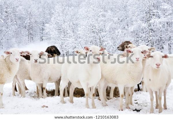 Sheep Heavy Snow Family Farm Webster Stock Photo Edit Now