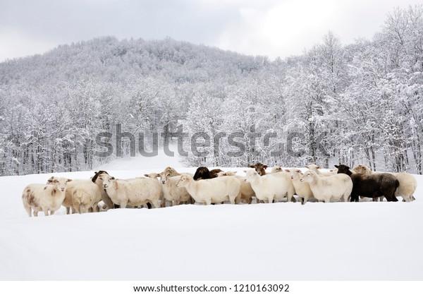 Sheep Heavy Snow Family Farm Webster Royalty Free Stock Image