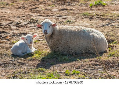 Sheep with her newborn lamb resting in the sun after grazing