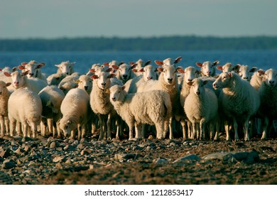 Sheep herd against sea in sunset on tiny island in Baltic sea.