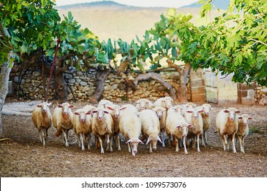 Sheep herd on pasture in Sardinia, Italy