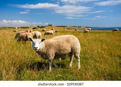 Sheep herd in Skane in southern Sweden