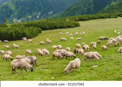 Sheep herds at alpine pastures in Retezat National Park, Carpathians, Romania.