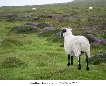 Sheep in the highlands, isle of Skye