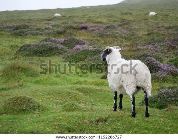 Sheep in the highlands, isle of Skye