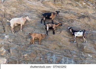 Sheep with horns climbing on mountain over Agia Theodoti beach Ios, cyclades greece