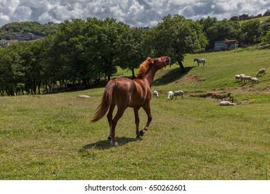 Sheep and Horses at the Countryside
