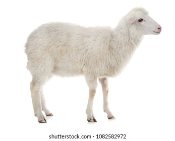 sheep isolated on white background