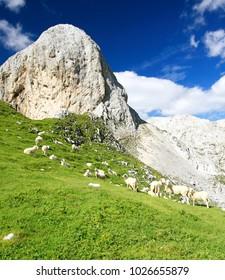 The Sheep in Julian Alps