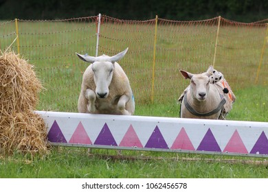 Sheep jumping over a hurdle in a sheep race.