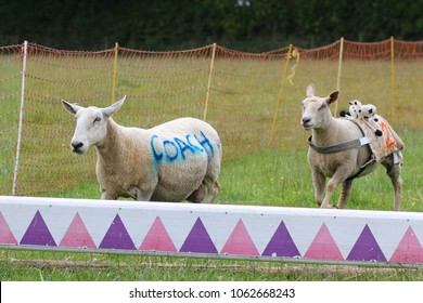 Sheep jumping over hurdle at sheep race