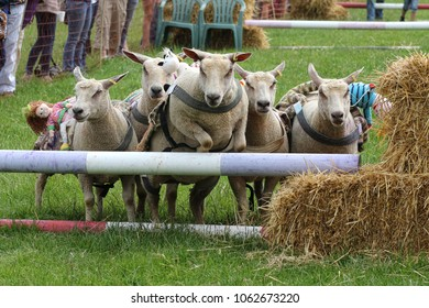 Sheep jumping over hurdle in sheep race