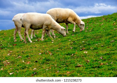 Sheep, Katahdin breed, fall leaves on green grass, family farm, Webster County, West Virginia, USA