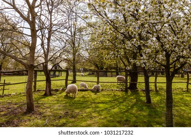 sheep with lamb and blooming trees in spring