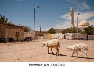A sheep and a lamb crossing  the street of small  arabic town. On the background we  can see the mosque. Egypt. South Sinai. Dahab.
