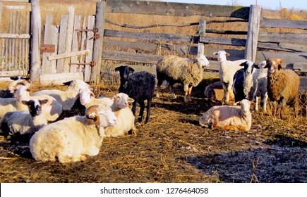Sheep lamb ewe goat farm for wool & meat. Flock staring sheep in lamb paddock. Domestic ewe animal farmland concept. Countryside rural autumn landscape group of sheep grazing in lamb paddock ewe farm