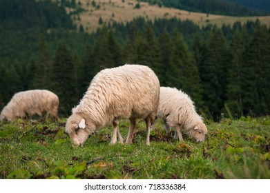 A sheep with a lamb grazing on a green pasture in the mountains.Young white sheep graze on the farm.
