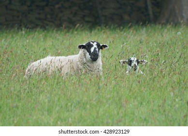 Sheep and lamb hiding in long grass