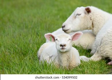 Sheep and lamb lying on meadow