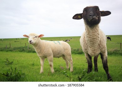 sheep and lamb on a meadow