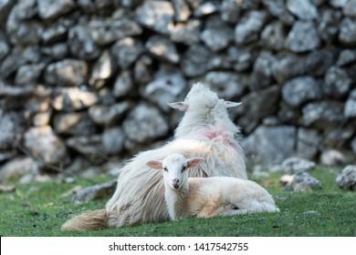 Sheep, lamb resting on a mediterranean pasture in spring, Cres Croatia