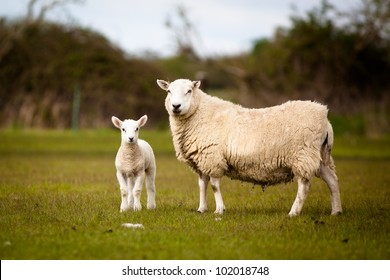 Sheep and Lamb standing in a field.