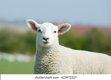 Sheep lamb standing on pasture and looking