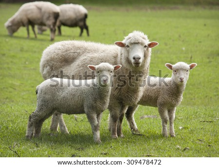 sheep lambs stock photo edit now 309478472 shutterstock
