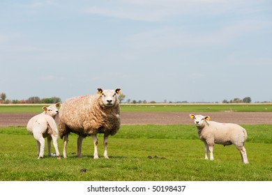 Sheep with lambs in Dutch landscape with meadows