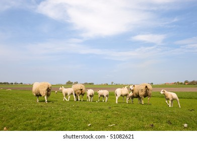 sheep and lambs in dutch landscape with meadows