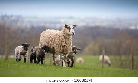 Sheep and lambs in a field in North Yorkshire, England, United Kingdom