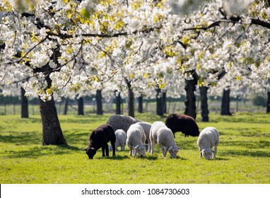 sheep and lambs graze in green spring grass under blossoming cherry trees near utrecht in the netherlands
