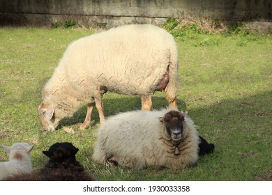 Sheep and lambs grazing and resting in a meadow.
