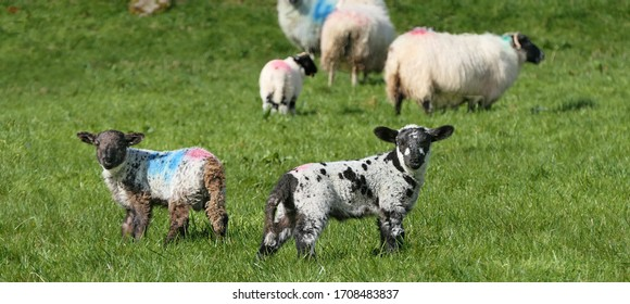Sheep and lambs laying in the sun in a field in Ireland