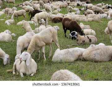 sheep with lambs in the meadow in the mountains