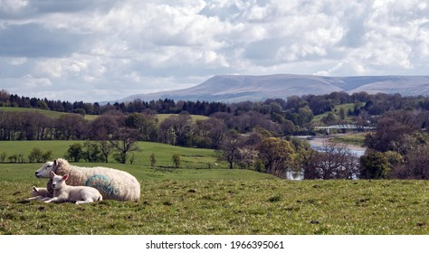 Sheep and lambs next to Pendle Hill UK