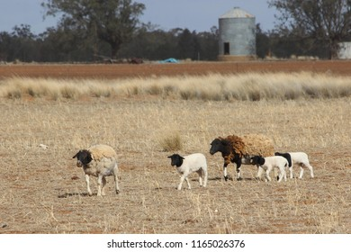 Sheep with lambs in north west nsw Australia during drought 2018