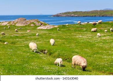 Sheep and lambs  on the grass fields in Ring of Kerry .Ireland