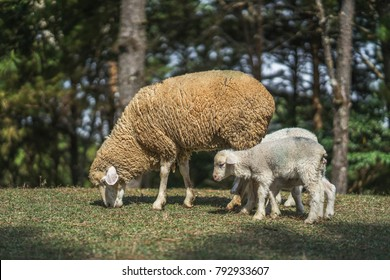 sheep with lambs on the hills